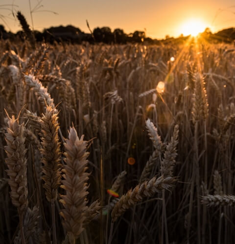 Aromatic winter wheat grainbased spirit